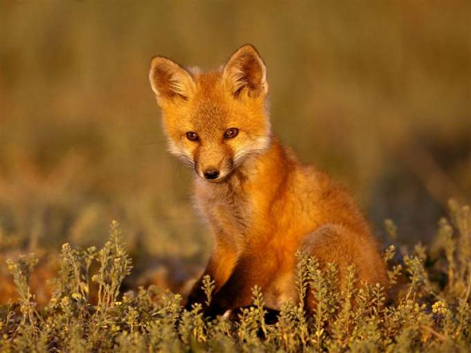 600-Young_Red_Fox