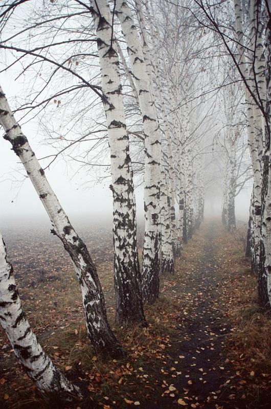 березки в тумане