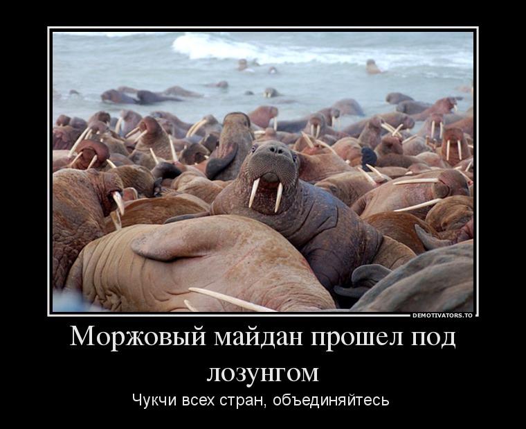 моржи