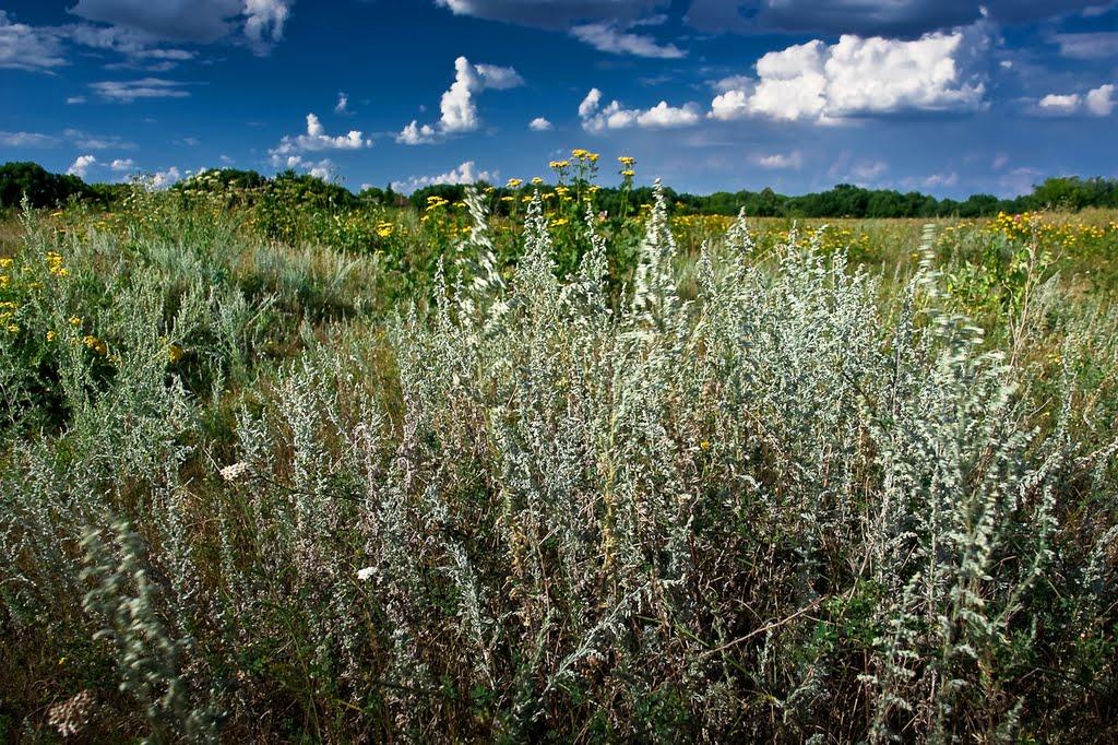 трава полыни от глистов