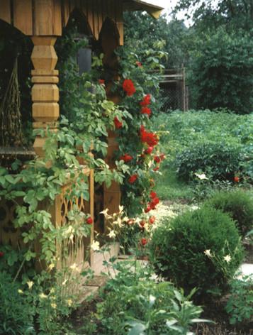 розы плетистые для беседки+