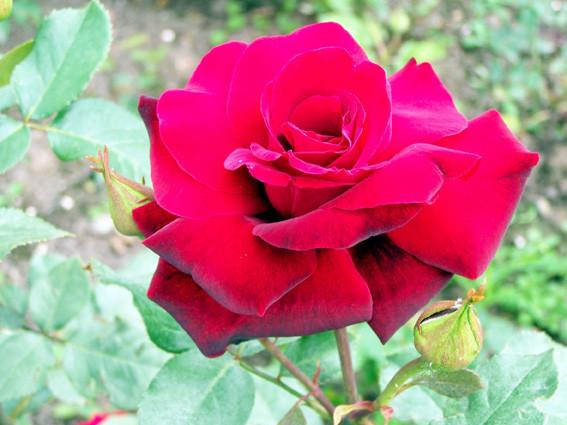 роза Баккара