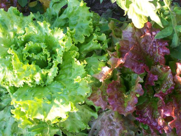 Мой огород: первая декада июня