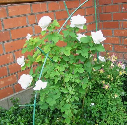 роза15