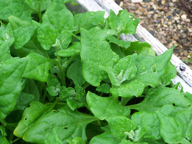 Тетрагония - новозеландский шпинат.