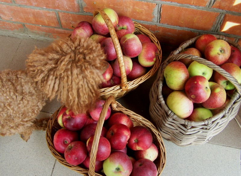 Татуся контролирует сбор яблок