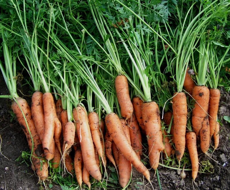 Морковь Карлена была посеяна в июле