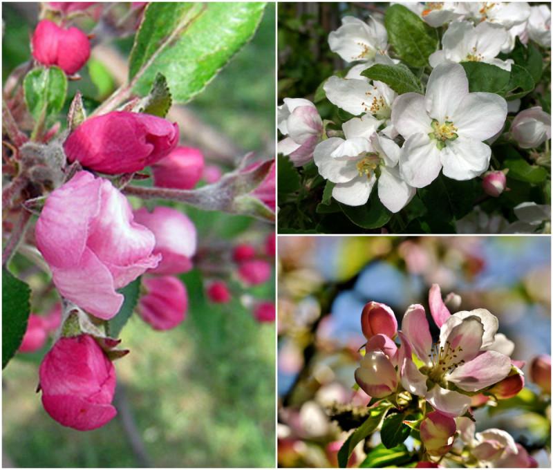 Так цветут яблони