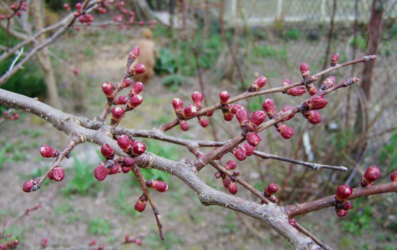 Сад еще гол, а на абрикосе уже лопаются красные почки и взрываются нежно-розовым цветом
