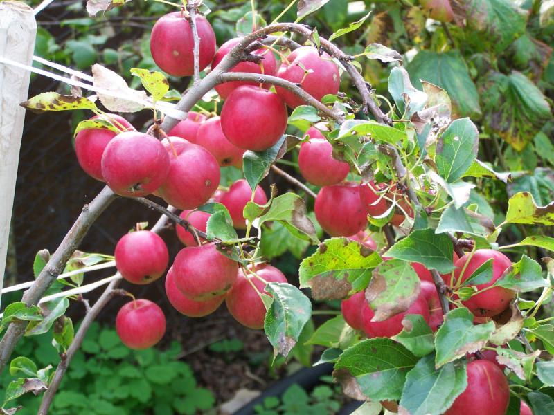 Китайка Керр каждый год усыпана яркими и вкусными яблочками