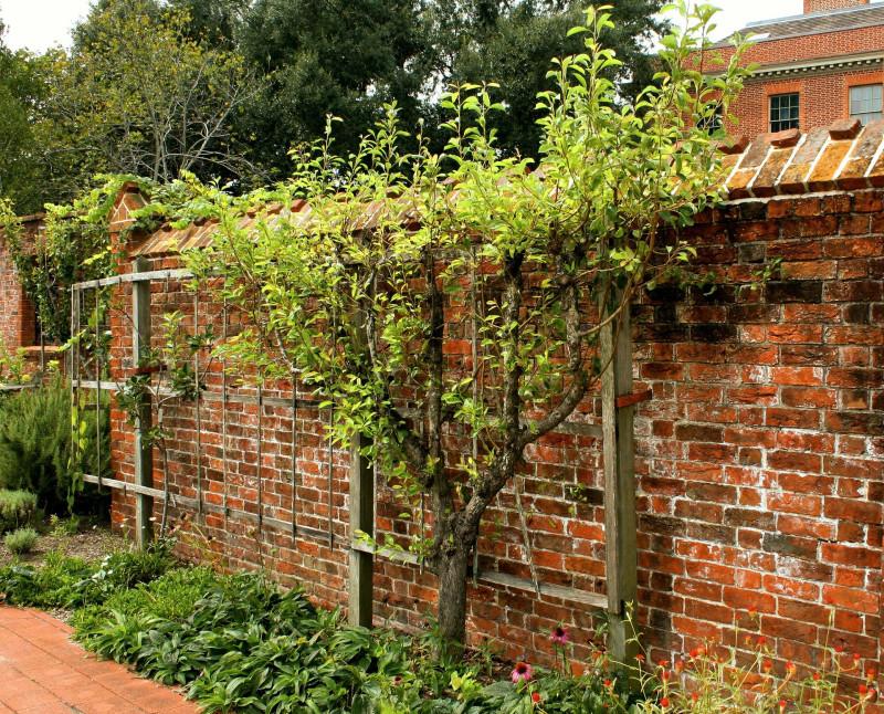 В саду плодовые можно выращивать на шпалерах: места минимум, урожай отличный и забор закрыт. Pixabay.com