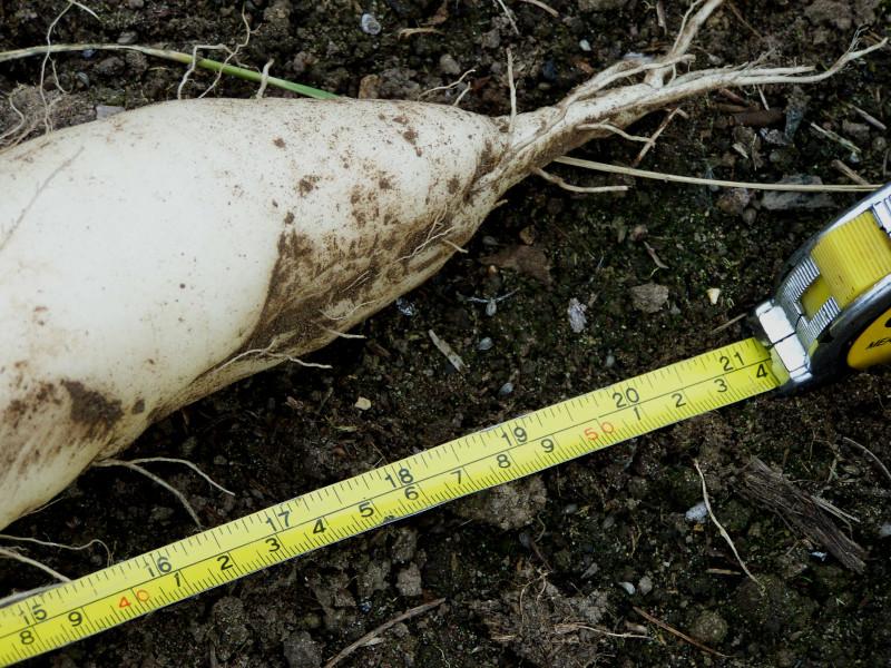 Миновасе Саммеркрос вырастает гигантским