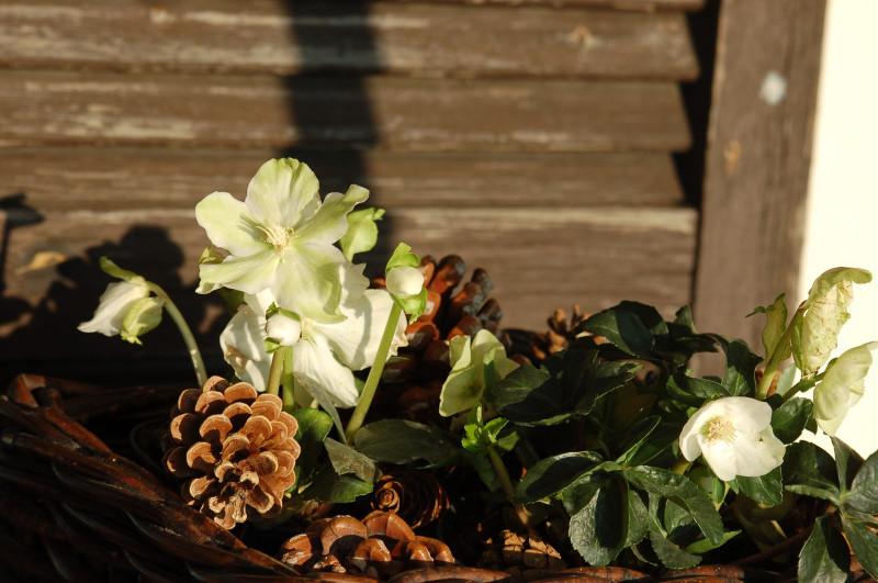 Морозник - зимняя роза