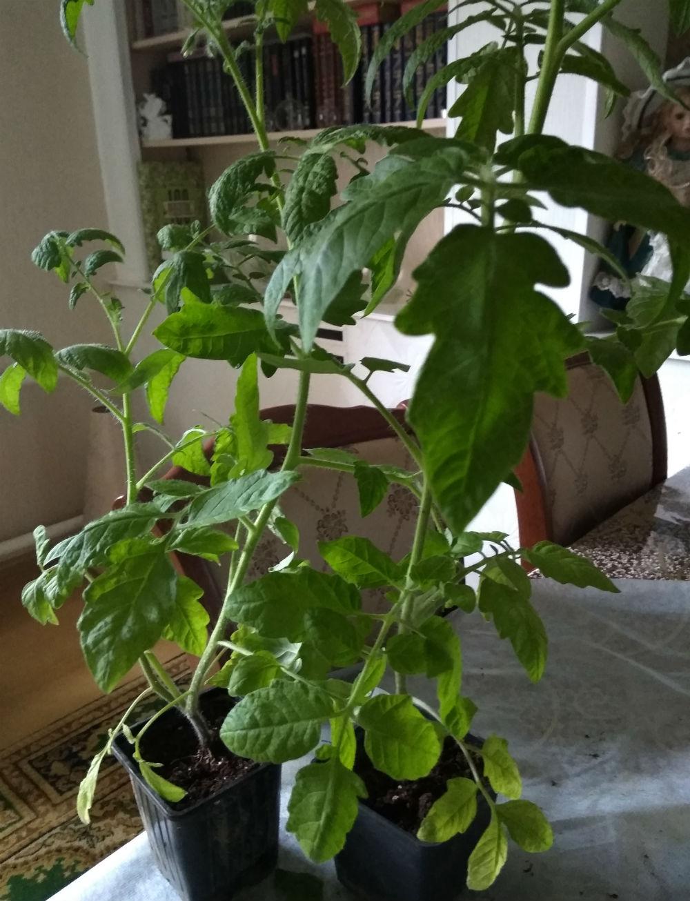 Ровно месяц назад мне пришлось срезать верхушку у одного томата. Я ее укоренила, но и горшочек с корнем не выбросила. В результате у меня отличная рассада из черенка и растение  в два стебля из оставшегося корня томата.
