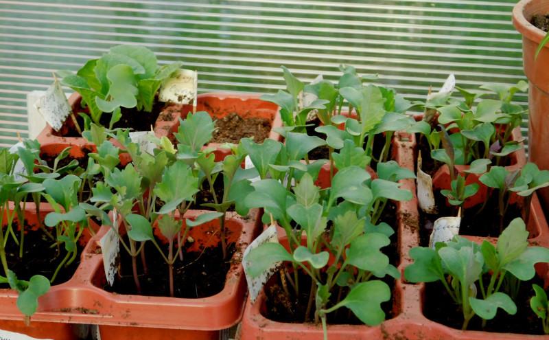 Какой только капусты я не насеяла: от листовых сортов до кочанных, от цветных до декоративной