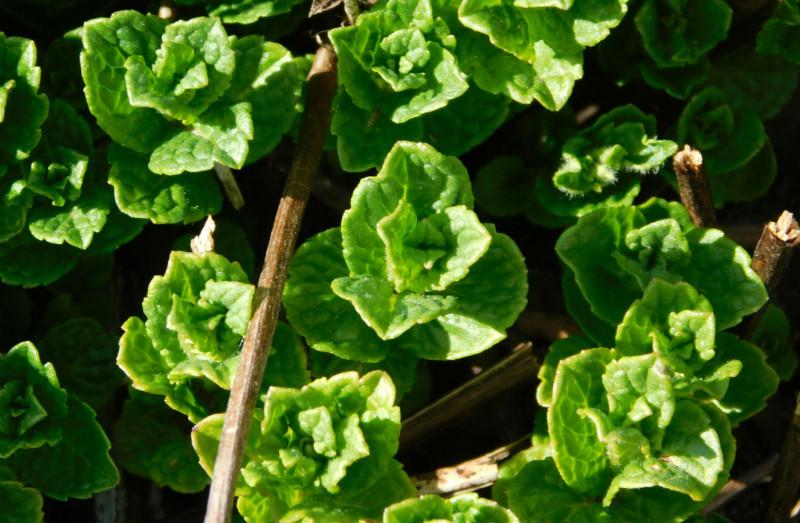 Мята уже одаривает ароматными листочками