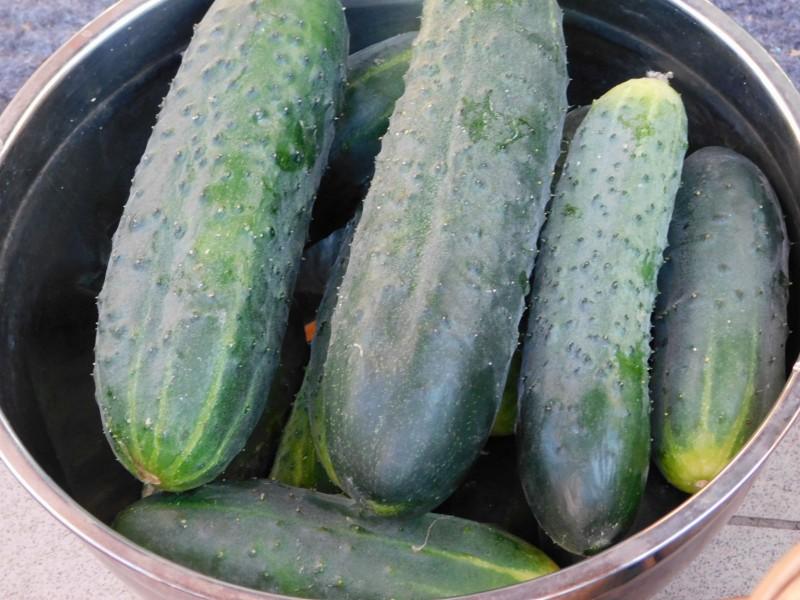 Куста всего три, но я почему-то каждый раз нахожу зеленцы-переростки