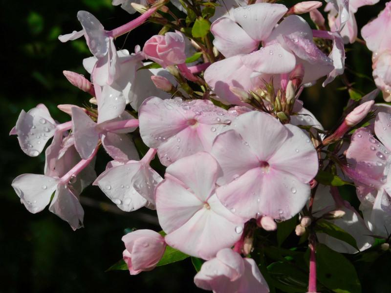 Любимый флокс Яблоневый цвет