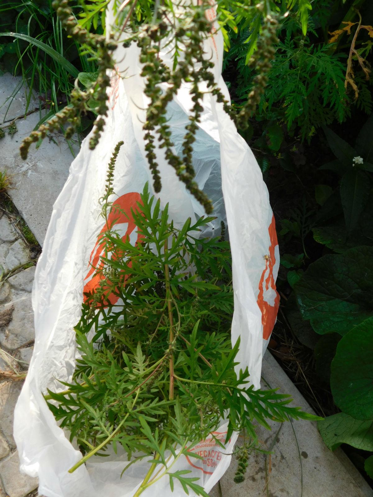 Амброзия - опасный сорняк