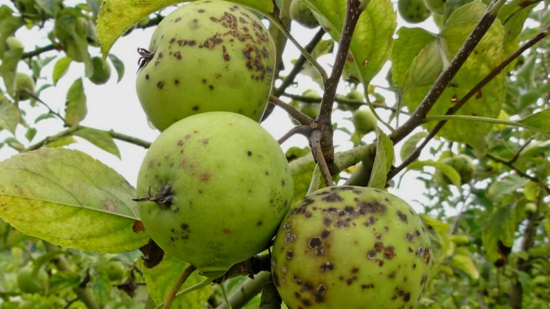 Паршивые яблоки