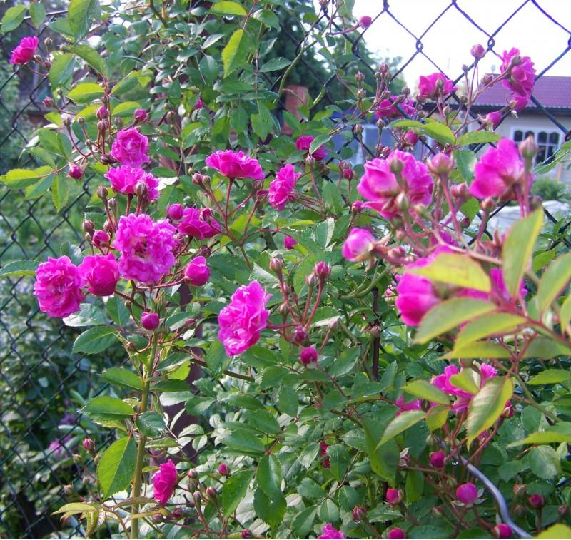 Яркий цвет в начале цветения и под легкой тенью в полдень