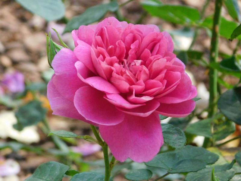 Роза Princess Anna