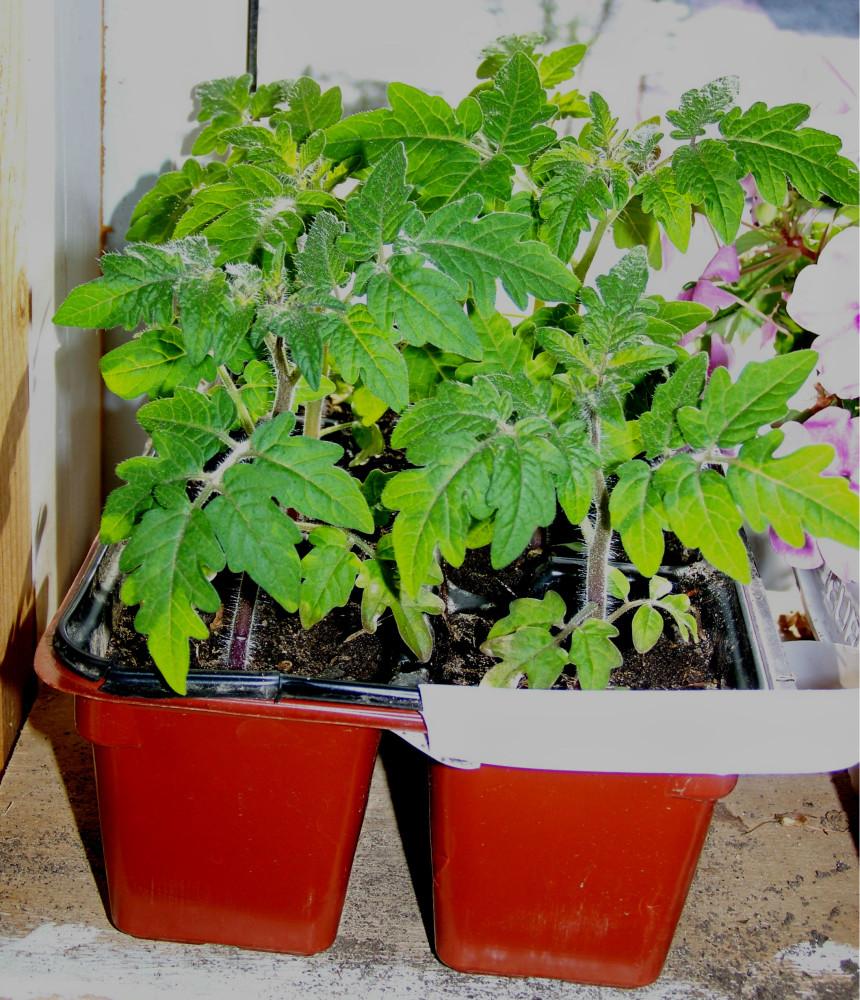 Так выглядит рассада томатов без пикировки за две недели до высадки в грунт. Посев в конце марта.