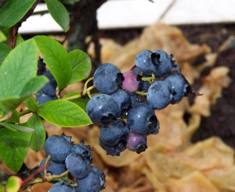 Голубика и секреты ее выращивания
