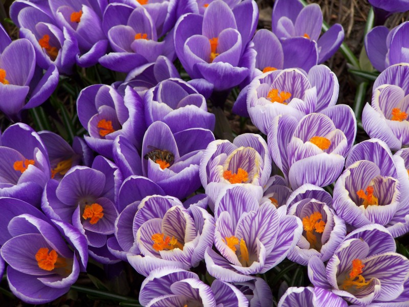Шафранная красота весны