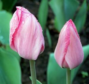 тюльпан3