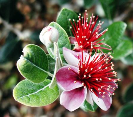 фейхоа цветок1