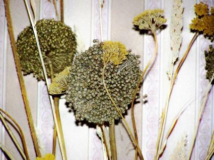 сухоцветы2