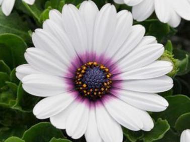 остеоспермум Akils White Purple