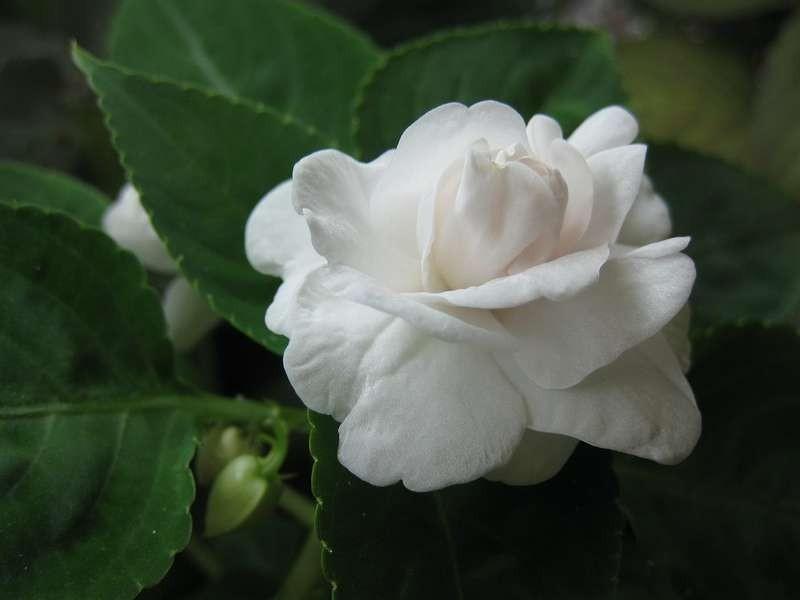бальзамин White