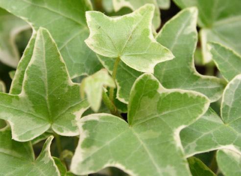 плющ растение фото