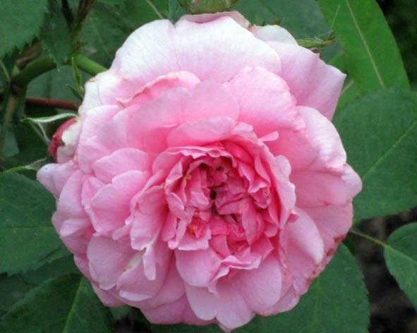 роза John Davis