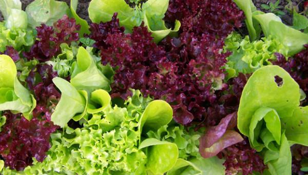 салат листовой микс1