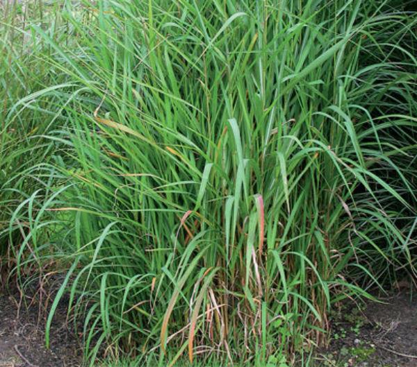 мискантус сахароцветковый1
