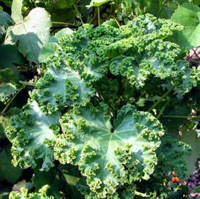 просвирник кудрявый овощной