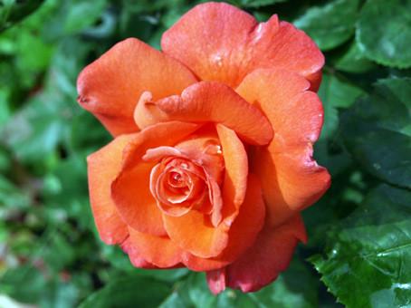 роза12