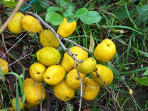 хеномелис плоды
