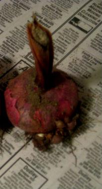 гладиолус луковица