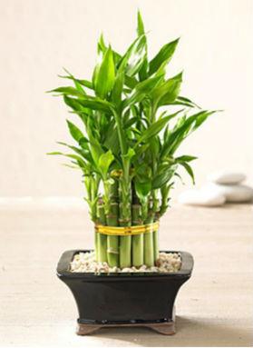 lucky-bamboo1