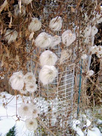 клематис Локатор любви зимой