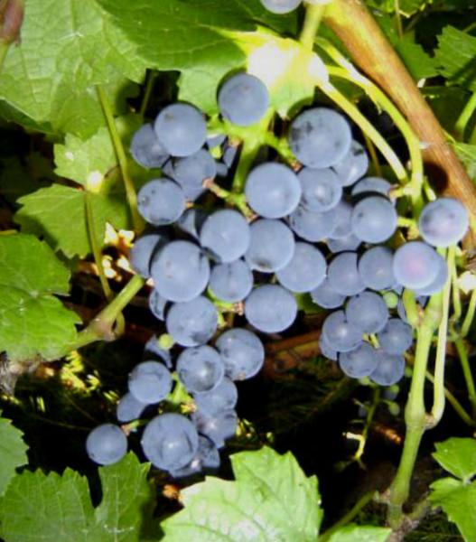 виноград амурский1
