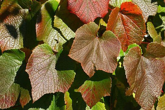 виноград амурский2