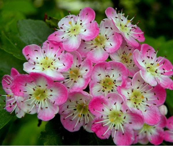 боярышник розовый