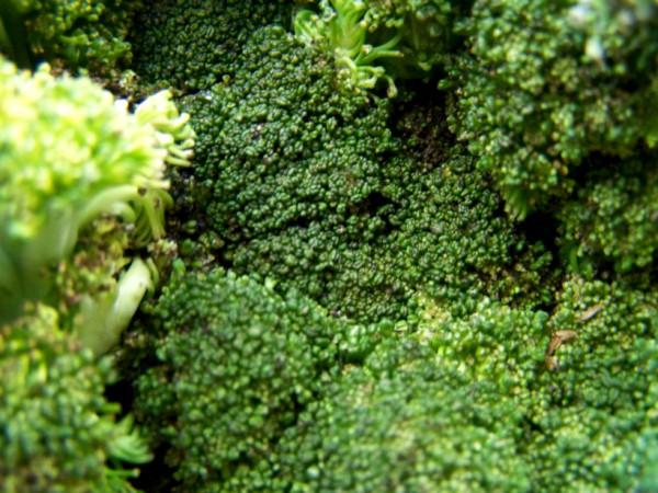 почему капуста брокколи идет в цвет