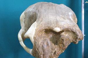 фанагорийский слон