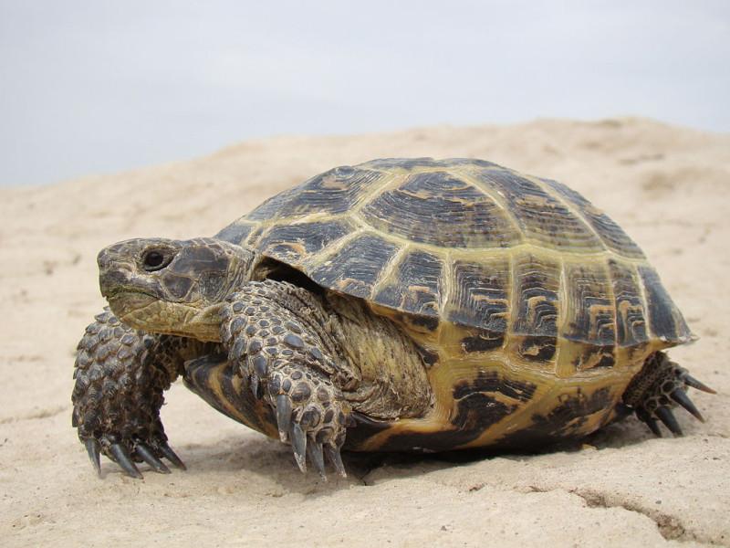 Картинка из Википедии: вдруг вы забыли, как выглядит черепаха)